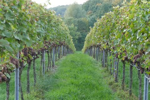 Führungen im Weingut Winzermännle
